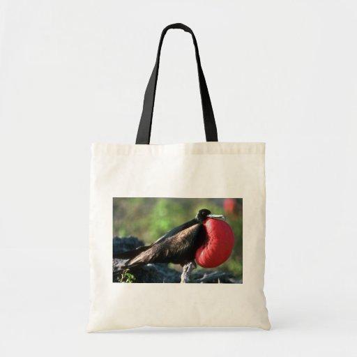 Gran Frigatebird, cortejo masculino con Gular