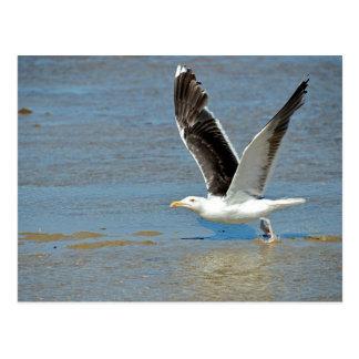 Gran gaviota de espalda negra del primer en vuelo postal