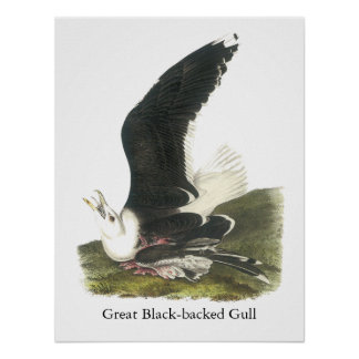 Gran gaviota de espalda negra, Juan Audubon Posters