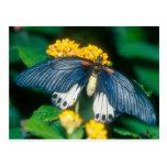 gran mariposa mormona de las mariposas postal