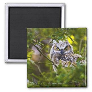 Gran Owlet de cuernos Imán Cuadrado