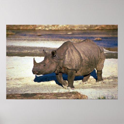 Gran rinoceronte Uno-De cuernos indio Póster