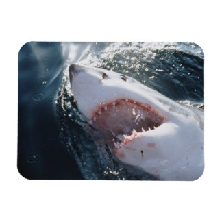 Gran tiburón blanco en el mar iman flexible