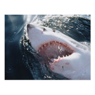 Gran tiburón blanco en el mar postales