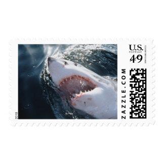 Gran tiburón blanco en el mar sello