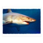 Gran tiburón blanco postales