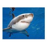 Gran tiburón blanco tarjeta postal