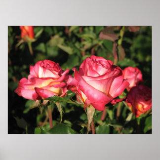 Granada Hybrid Tea Roses 045 Poster