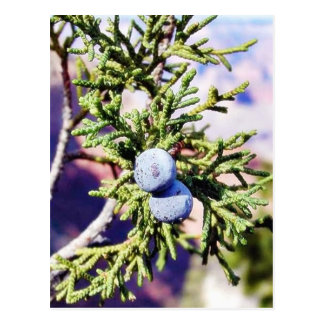 Grand Canyons Junipers Berry Berries Post Cards