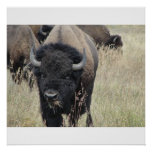 Grand Teton Buffalo Print