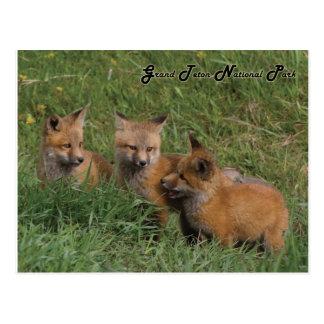 Grand Teton National Park Fox Kits Postcard