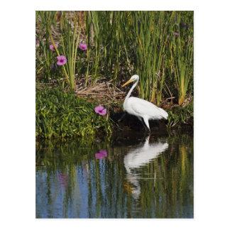 Grandes pescados de la caza del Egret en pantano Tarjeta Postal