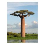 Grandidier's Baobab Madagascar Post Card