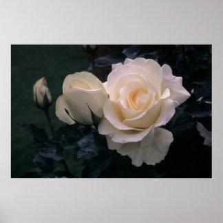 Grandiflora Rose Mount Hood Poster
