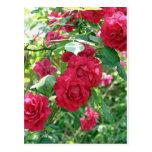 Grandma's Rose Bush Postcard