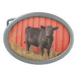 Granero negro del rojo de la vaca hebillas cinturon