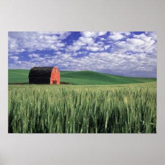 Granero rojo en campo del trigo y de la cebada en  póster