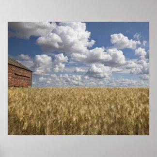 Granero viejo en el campo de trigo 2 póster