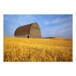 Granero viejo rústico en campo de trigo maduro en  cojinete