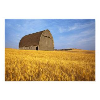 Granero viejo rústico en campo de trigo maduro en  arte fotografico