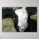 Granja de la cabra de Shelton Poster