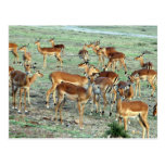 grant gazelle herd post cards
