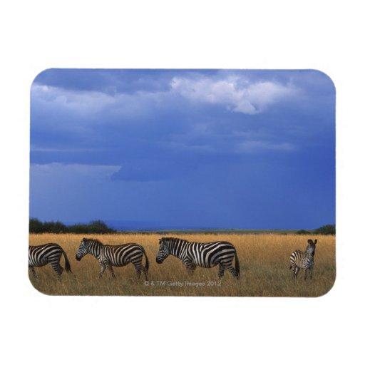 Grant Zebra 2 Rectangle Magnet