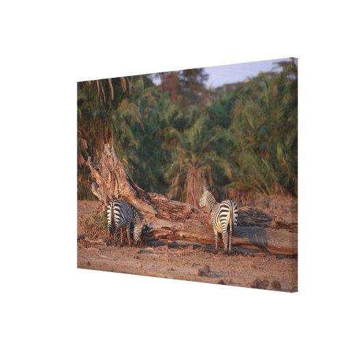 Grant Zebra 5 Canvas Print