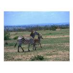 Grant Zebra Postcard