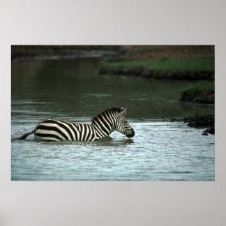 Grant's Zebra - Crossing Posters