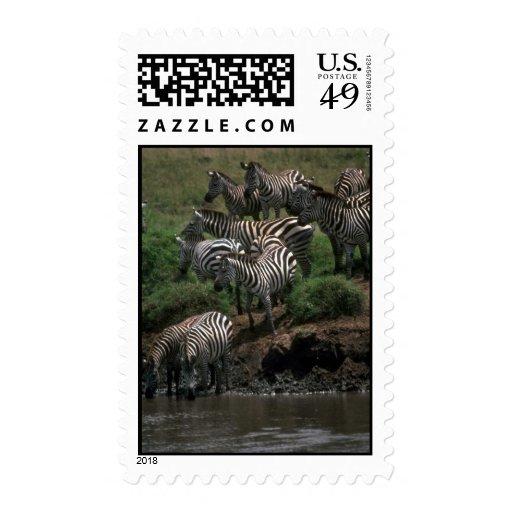 Grant's Zebra - Drinking Postage Stamps