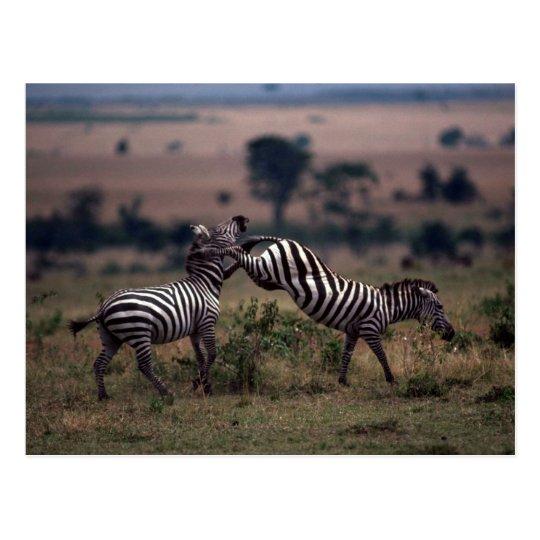 Grant's Zebra - Fighting Postcard