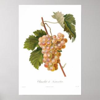 Grape,Chasselat de Fontainebleau Poster