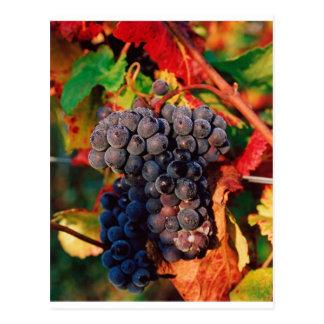 Grape Cluster Postcard