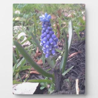 Grape Hyacinth Blossom Photography Plaque