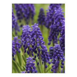 Grape Hyacinth Bulbs Postcard