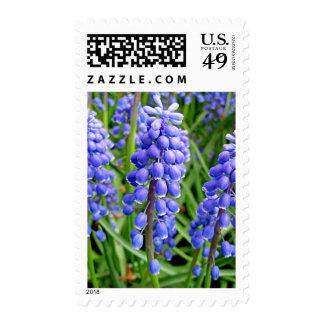 Grape Hyacinth in a Dutch Garden Stamp