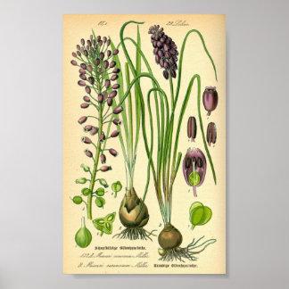 Grape Hyacinth Muscari neglectum Poster