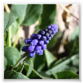 Grape Hyacinth Photo