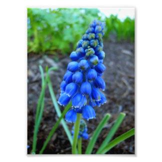 grape hyacinth photo print