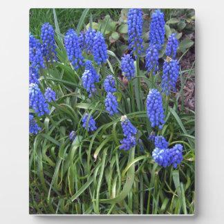 Grape Hyacinth photograph Display Plaque