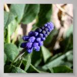 Grape Hyacinth Print