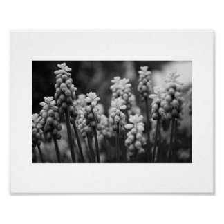Grape Hyacinths in Mono Poster
