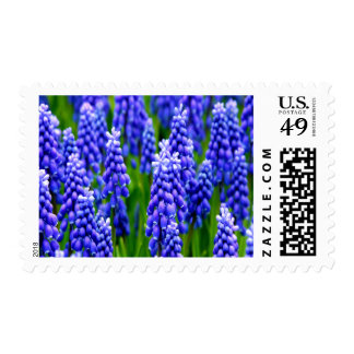 Grape Hyacinths Medium Postage Stamp