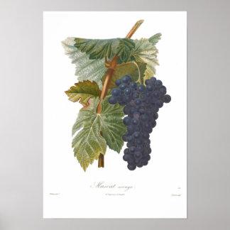Grape,Muscat arouya Poster
