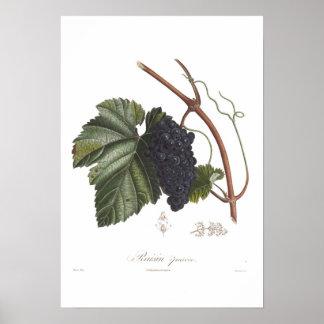 Grape,Raisin precoce Poster
