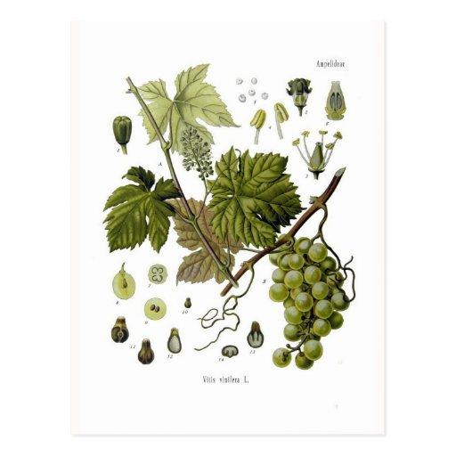 Grape vine postcard