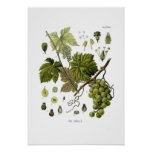 Grape vine posters