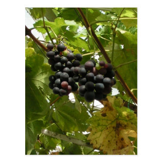 Grapes growing on a vine postcard
