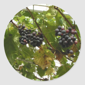 Grapes growing on a vine round sticker